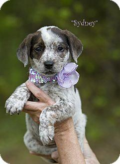 Blue Heeler Mix Puppy for adoption in Groton, Massachusetts - Sydney