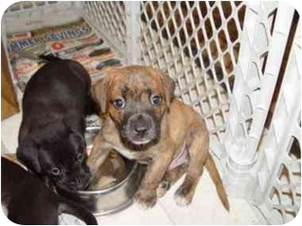 Terrier (Unknown Type, Medium) Mix Puppy for adoption in Wauseon, Ohio - Adam