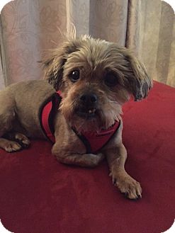 Yorkie, Yorkshire Terrier Mix Dog for adoption in Las Vegas, Nevada - Scruffy