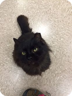 Domestic Longhair Cat for adoption in Byron Center, Michigan - Fuzzle