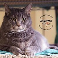 American Shorthair Cat for adoption in Belton, Missouri - Max