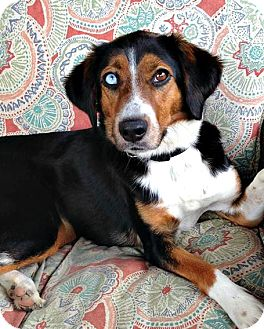 Collie/Beagle Mix Dog for adoption in McKinney, Texas - June Bug