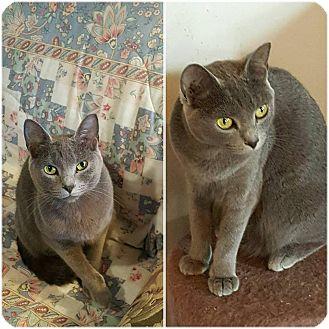 Russian Blue Cat for adoption in Ocala, Florida - Indigo