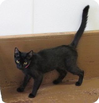 Domestic Shorthair Cat for adoption in Aiken, South Carolina - SYDNEY