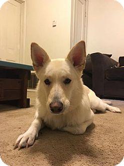 German Shepherd Dog Dog for adoption in Manhattan, Kansas - Esther