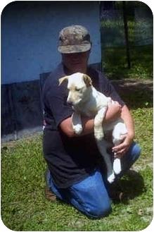 Labrador Retriever Puppy for adoption in Cainsville, Missouri - Blondie