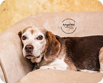 Beagle Dog for adoption in Cincinnati, Ohio - Madeline