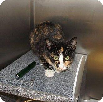 Domestic Shorthair Kitten for adoption in Henderson, North Carolina - Matilda