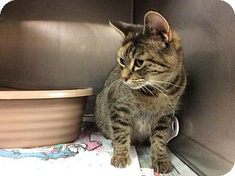 Domestic Shorthair Cat for adoption in Janesville, Wisconsin - Nell-Rose