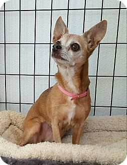 Chihuahua Mix Dog for adoption in New River, Arizona - Nubby