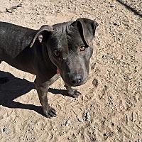 Adopt A Pet :: MAYA - Albuquerque, NM