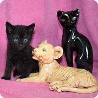 Domestic Mediumhair Kitten for adoption in Newark, New Jersey - Mario