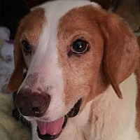 Adopt A Pet :: Bea - New York, NY