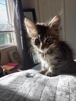 Domestic Mediumhair/Domestic Shorthair Mix Cat for adoption in Denver, Colorado - Artesia