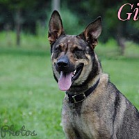 German Shepherd Dog Dog for adoption in Beckley, West Virginia - Gina
