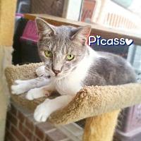 Adopt A Pet :: Picasso - York, PA