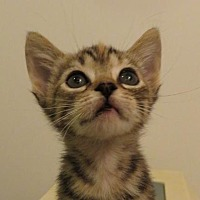 Adopt A Pet :: Mousie-Rutherford - Asheville, NC