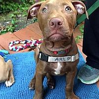 Adopt A Pet :: Napoleon - Minneapolis, MN