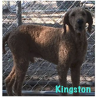 Poodle (Standard) Mix Dog for adoption in Hartwell, Georgia - Kingston