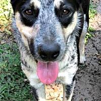 Adopt A Pet :: Freddy - Bradenton, FL