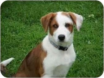 St. Bernard Mix Dog for adoption in Stockton, Missouri - Rosie