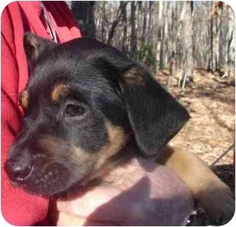Golden Retriever/Rottweiler Mix Puppy for adoption in Old Bridge, New Jersey - Dixon