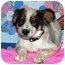 Photo 2 - Australian Shepherd/Shepherd (Unknown Type) Mix Puppy for adoption in Broomfield, Colorado - Dixie