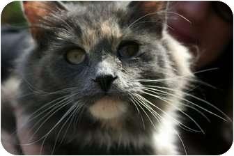 Domestic Longhair Cat for adoption in Farmington, Michigan - Lily: Leash Walker
