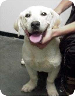 Labrador Retriever/Basset Hound Mix Dog for adoption in Manassas, Virginia - Jessie