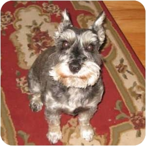 Schnauzer (Miniature) Dog for adoption in Redondo Beach, California - Cosmo - Courtesy