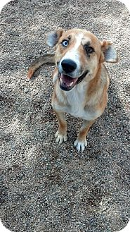 Catahoula Leopard Dog Mix Dog for adoption in Chino Valley, Arizona - Spirit