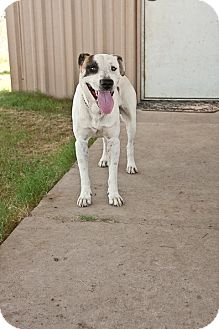 Boxer/Pit Bull Terrier Mix Dog for adoption in Pilot Point, Texas - SUPERMAN