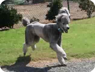 Standard Poodle Mix Dog for adoption in spring valley, California - Phoenix