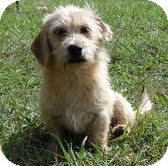 Dachshund Mix Dog for adoption in Westerly, Rhode Island - Nosey
