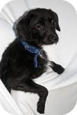 Yorkie, Yorkshire Terrier/Terrier (Unknown Type, Medium) Mix Dog for adoption in Plainfield, Illinois - Princessa