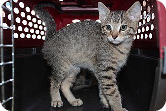 Abyssinian Kitten for adoption in Santa Monica, California - Bradley