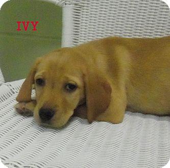Labrador Retriever Mix Puppy for adoption in Slidell, Louisiana - Ivy