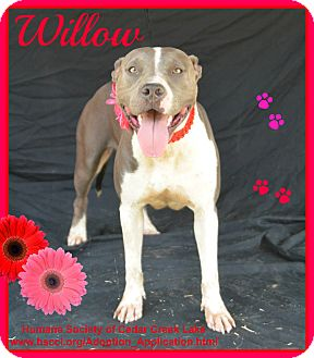 Pit Bull Terrier Dog for adoption in Plano, Texas - Willow