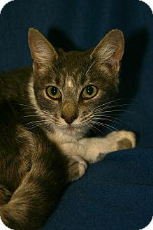 Domestic Shorthair Kitten for adoption in San Andreas, California - Priya
