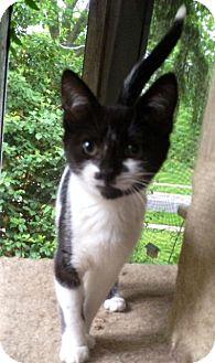 Domestic Shorthair Kitten for adoption in Covington, Kentucky - Chrystal