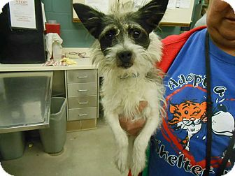 Terrier (Unknown Type, Small) Mix Dog for adoption in Rockford, Illinois - Scrappy