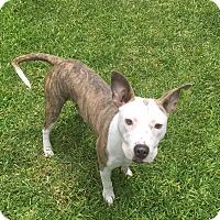 Adopt A Pet :: Lulu - Lake Worth, FL
