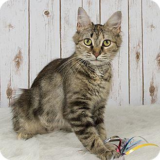 Domestic Shorthair Cat for adoption in Wilmington, Delaware - Carah