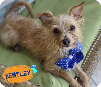 Yorkie, Yorkshire Terrier/Chihuahua Mix Dog for adoption in Corpus Christi, Texas - Bentley