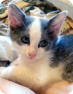 Domestic Shorthair Kitten for adoption in Toledo, Ohio - GreenLee