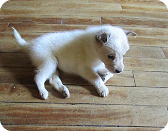 Australian Shepherd Mix Puppy for adoption in West Warwick, Rhode Island - Chama