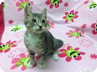 Domestic Shorthair Kitten for adoption in Tallahassee, Florida - Little Grey