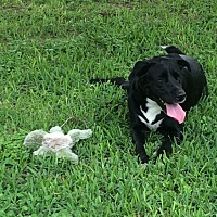 Labrador Retriever Mix Dog for adoption in Houston, Texas - MANDI