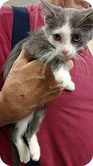 Domestic Shorthair Kitten for adoption in Toledo, Ohio - Little One