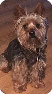 Yorkie, Yorkshire Terrier Mix Dog for adoption in Urbandale, Iowa - Bravo